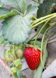 在域的草莓 图库摄影
