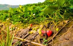 在域的草莓 免版税库存照片