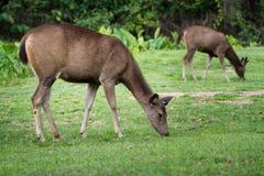 在域的鹿 免版税库存图片