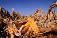 在域的黄色玉米 免版税图库摄影