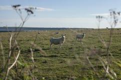 在域的绵羊 免版税图库摄影