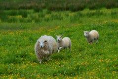 在域的绵羊 图库摄影