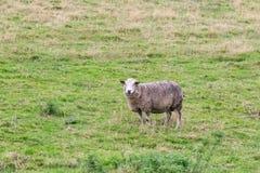 在域的绵羊 免版税库存照片