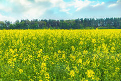 在域的黄色花 免版税库存照片