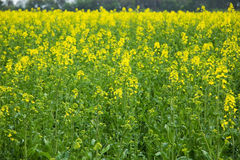 在域的黄色花 免版税库存图片