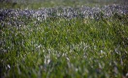 在域的绿草 库存图片