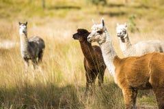 在域的Alpacas 免版税图库摄影