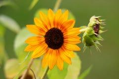 在域的Yellownsunflower 免版税库存照片