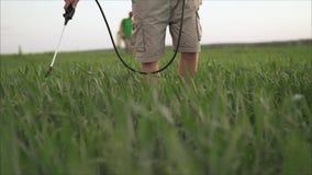 在培养的农业领域,种田植物发展早期的绿色麦子头,减速火箭的被定调子的图象与 股票录像