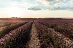 在培养的领域的美好的开花的lavendes在日落普罗旺斯 库存图片