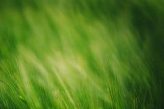 在培养的领域的绿色麦子作为抽象农业backgro 免版税库存图片