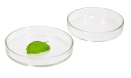 在培养皿的植物叶子 免版税库存照片