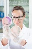 在培养皿的科学家观看的细杆菌 库存照片