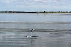 在基拉戈的海豚 免版税库存图片