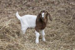 在堆的珍贵的棕色和白色小山羊干草旁边 免版税库存图片