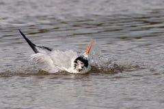 在堡垒德索托国家公园,佛罗里达的皇家燕鸥 免版税图库摄影