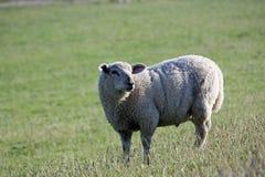 在堤堰旅馆北德国的绵羊 库存图片