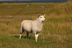 在堤堰的一只绵羊 免版税库存图片