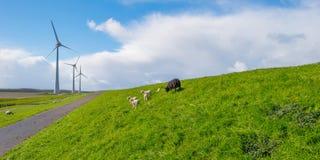 在堤堰的绵羊在阳光下 免版税图库摄影