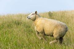 在堤堰的绵羊 库存图片