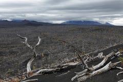 在堪察加半岛的自然灾害:死的木死的森林 图库摄影