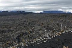 在堪察加半岛的自然灾害:死的木死的森林 免版税图库摄影
