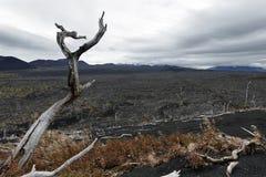 在堪察加半岛的自然灾害:死的森林死的木头 库存图片