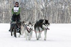 在堪察加的拉雪橇狗赛跑:猎狗雪撬队阿拉斯加的爱斯基摩 免版税库存图片