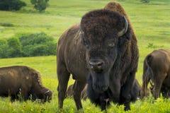 在堪萨斯平原的印象深刻的北美野牛画象 免版税库存图片