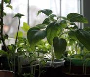 在塑料杯子的幼木蕃茄 免版税库存图片