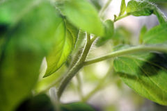 在塑料杯子的幼木蕃茄 免版税图库摄影