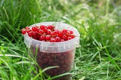 在塑料的红浆果莓果在草能 库存图片