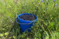 在塑料碗的新鲜的黑莓在绿草 免版税库存照片