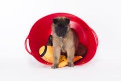 在塑料篮子的比利时牧羊人特尔菲伦小狗 库存图片