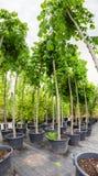 在塑料罐的坚果树在苗圃场 免版税库存照片