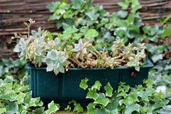 在塑料花盆种植的Sedum或景天属强壮的多汁地被植物四季不断的植物围拢与履带牵引装置植物 库存图片