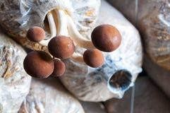 在塑料袋的新鲜的yanagi蘑菇 免版税库存图片