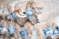 在塑料袋的新鲜的yanagi蘑菇 免版税库存照片