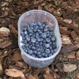 在塑胶容器的新鲜的蓝莓 免版税库存图片