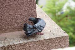在塑造姿势的鸽子 库存照片