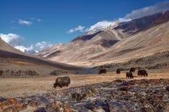 在塔吉克斯坦的牦牛 库存照片