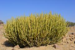在塔尔沙漠的仙人掌 库存照片