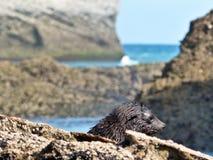 在塔斯曼海Wharariki海滩的,新西兰前面的狂放的海狮幼崽 免版税图库摄影