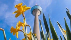 在塔` Rheinturm `前面的黄水仙 影视素材