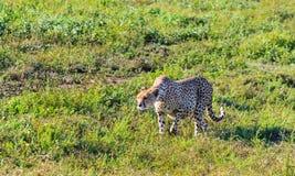 在塞伦盖蒂的大草原的大猎豹狩猎 坦桑尼亚 免版税库存照片
