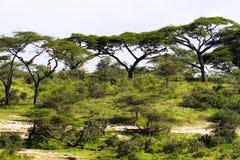 在塞伦盖蒂的绿色风景 坦桑尼亚,非洲 免版税库存图片