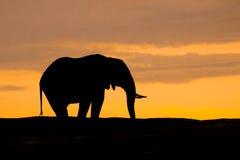 在塞伦盖蒂的落日现出轮廓的巨型的非洲大象在非洲 免版税库存图片