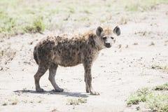 在塞伦盖蒂的象草的平原的被察觉的鬣狗斑鬣狗斑鬣狗 免版税库存图片