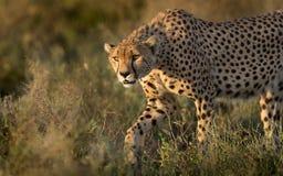 在塞伦盖蒂,坦桑尼亚的男性猎豹狩猎 库存图片