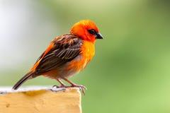 在塞舌尔群岛的一只小红色地方鸟 库存图片